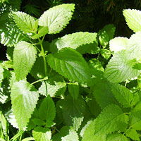 Lemon Balm and Lime Balm